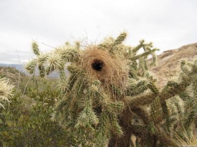 Гнездо кактусового крапивника