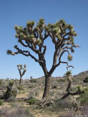 Отдельное дерево Джошуа