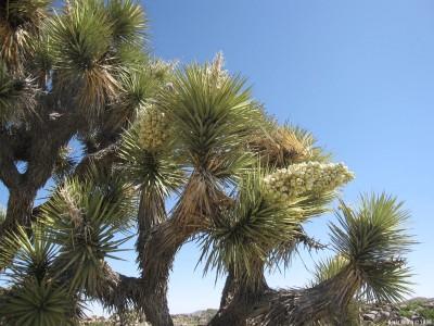 Цветущая юкковая пальма