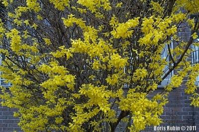 Кусты форсайтии ранней весной