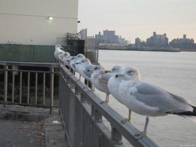 Серебристые чайки на перилах набережной