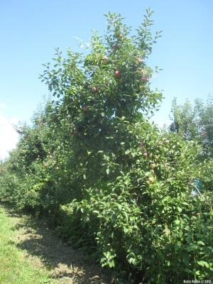 Mead Orchards, Cortland Apples