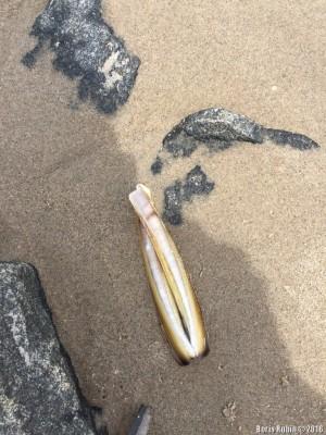 Раковина морского черенка