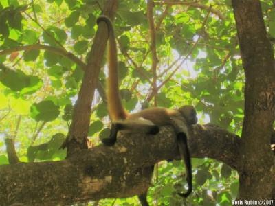 Чернорукая паукообразная обезьяна