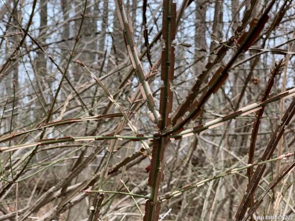 Веточки бересклета с крылышками