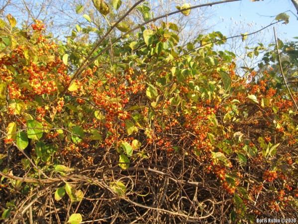 Ветви древогубца, усыпанные плодами