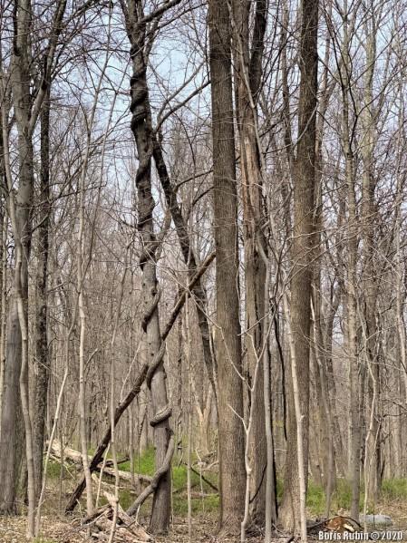 Дерево, задушенное древогубцем