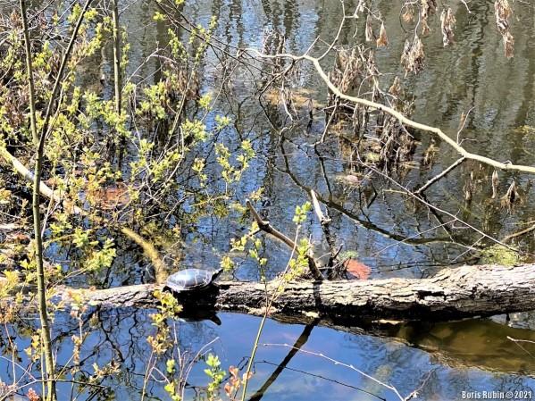 Расписная черепаха