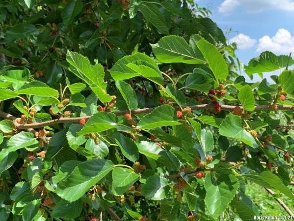 Ветка тутовника с незрелыми ягодами